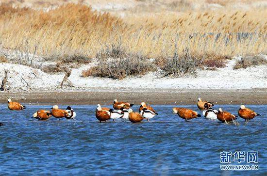 11月7日,候鸟在内蒙古乌兰布和沙漠境内的天鹅湖栖息。新华社发(马学献 摄)