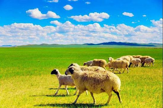 肥壮的锡林郭勒羊,肉墩墩的可爱极了,是大自然馈赠牧民的宝藏。