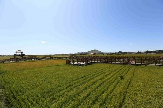 圖為三合村的稻田。畢力格 攝