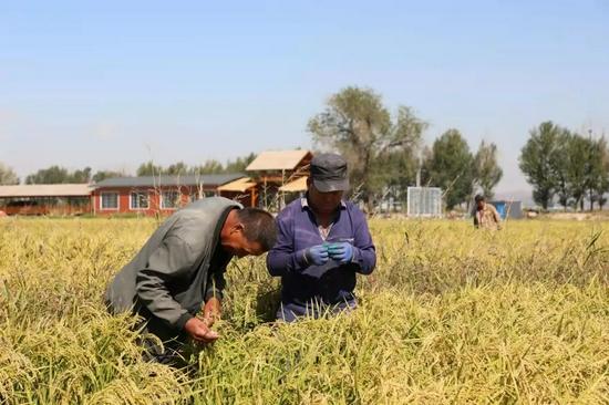 村民正在观察稻穗长势