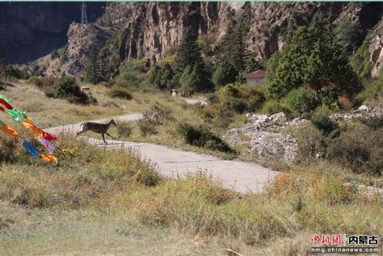 圖為保護區內隨處可見的巖羊。