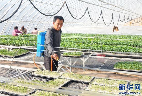 工作人员在内蒙古自治区巴彦淖尔市五原县现代农业科技示范园日光温室大棚内育苗。新华社记者 李云平 摄