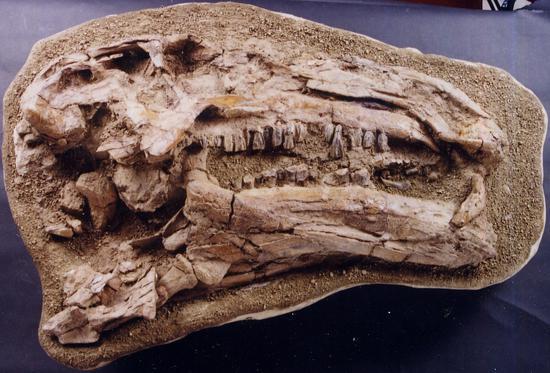 禽龙类头骨化石