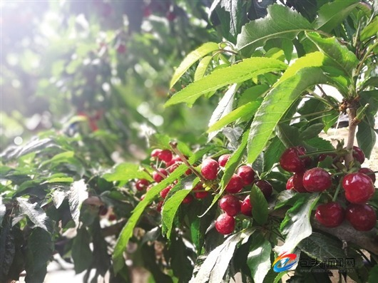 本地产的大樱桃个大肉厚,口感甘甜。