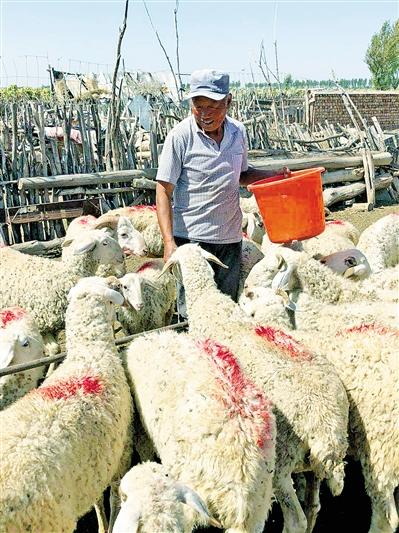 王勇正在喂羊。