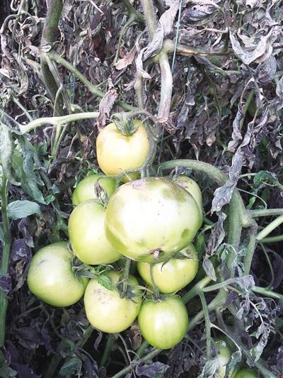 西红柿还未成熟就已冻伤