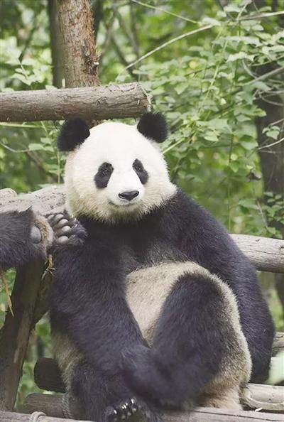 """大熊猫""""仨儿""""(资料图片)"""