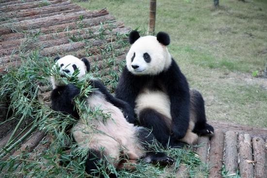 呼和浩特大青山野生动物园拟建熊猫馆