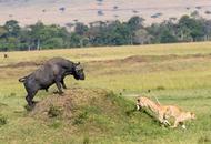 肯尼亚水牛胆大包天