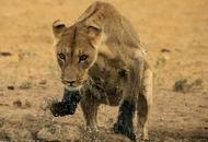 南非狮子奔跑误落水坑