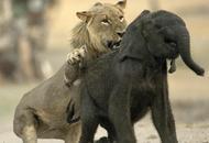 小象惨遭小狮子锁喉捕杀