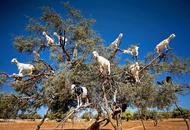 摩洛哥馋嘴山羊爬树觅食