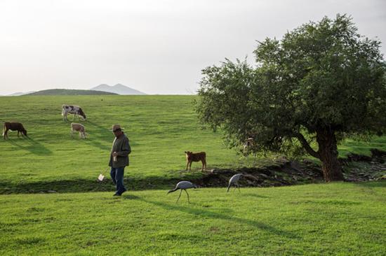 每天舍楞老人都要花很长的时间教小鹤捕食,识别可食的昆虫。