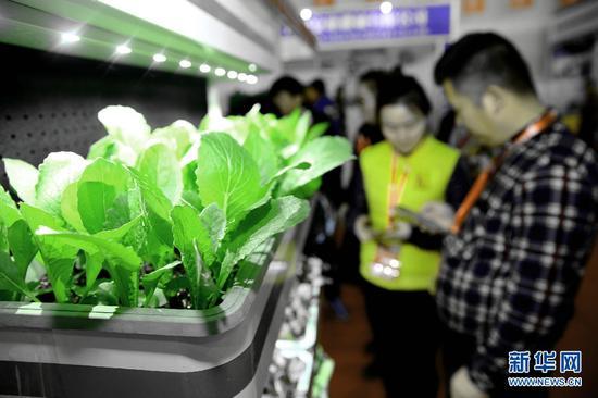 """图为""""便携可移动植物墙""""内的无土栽培植物。杨腾格尔摄"""