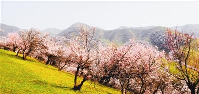 漫山盈绿遍地杏花。