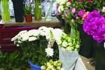 3万枝菊花免费领取 呼和浩特市倡导生态祭祀