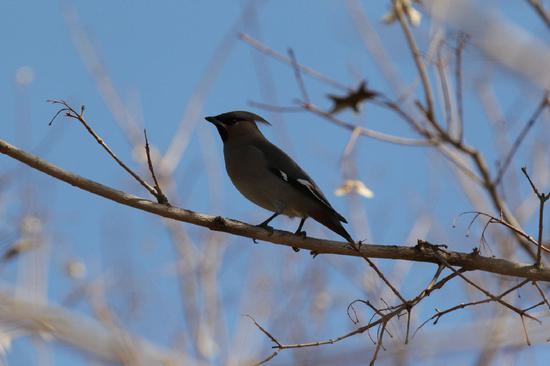 赤峰市新城区广场树枝上太平鸟在欢唱。李富摄