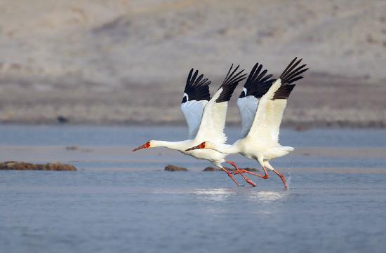 在通辽市科左后旗阿古拉湿地白鹤比翼双飞。刘延国摄