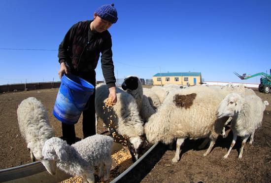 给产后的母羊补充养料