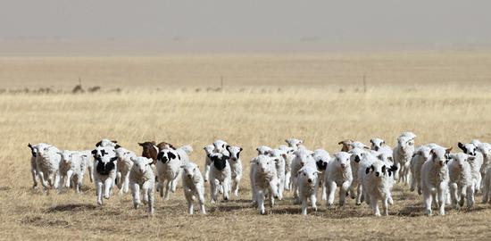小羊们欢快地奔跑着