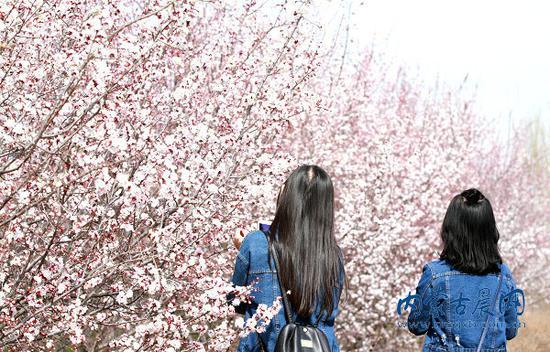 游客拍摄杏花美景