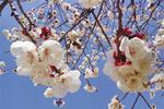 呼和浩特赏花攻略:4月桃花 5月丁香 7月山丹