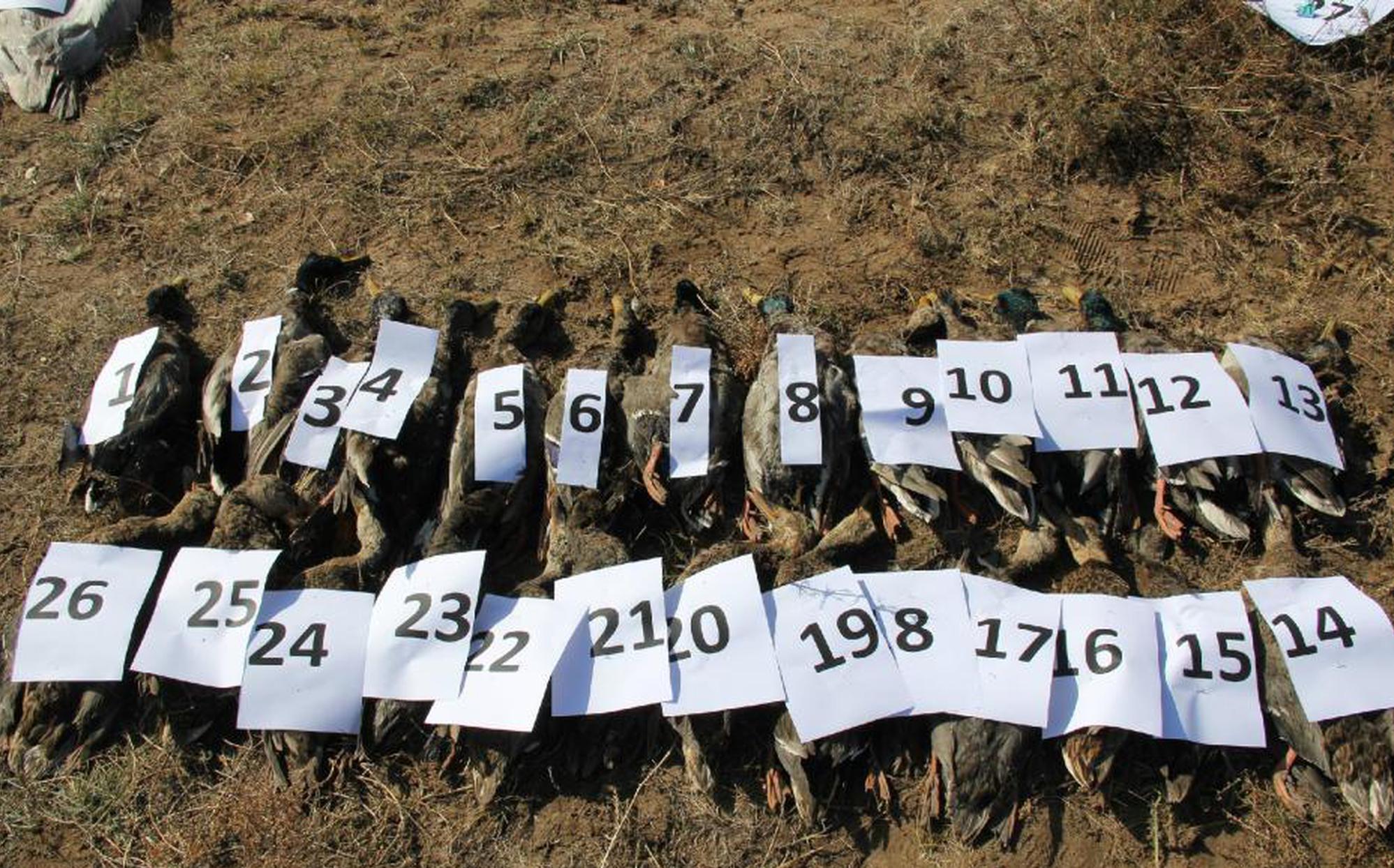 正蓝旗毒杀290只天鹅案:9名涉案人员被提起公诉