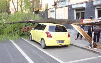 大风刮断大树 两辆汽车被砸