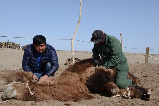 基层干部和边防战士帮助敖云其木格剪驼毛