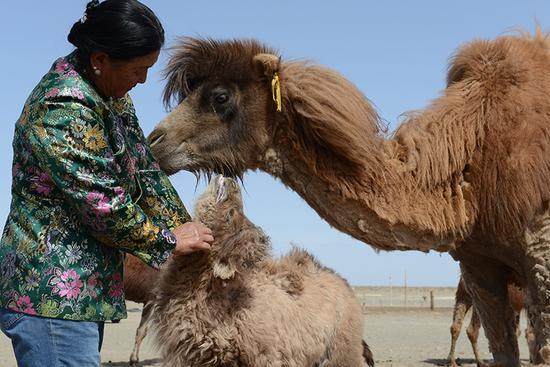 敖云其木格视骆驼为忠实的伙伴