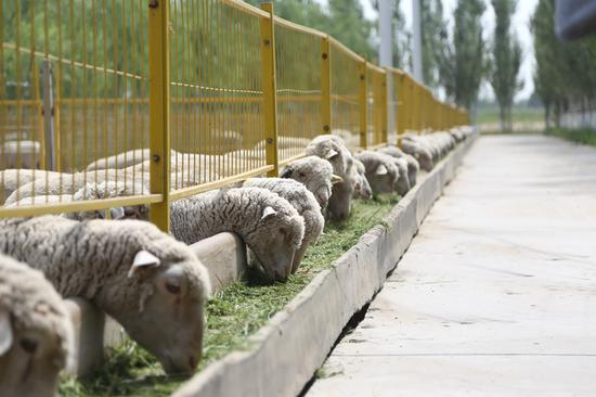 富川肉羊养殖园