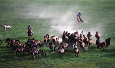 牧民在锡林浩特市宝力根苏木的草原上套马(2015年7月21日摄)