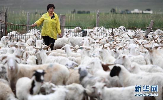 7月28日,内蒙古自治区鄂尔多斯市鄂托克旗阿尔巴斯苏木呼和陶乐盖嘎查牧民其其格在自家牧场内赶羊。