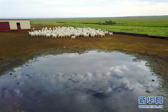 """7月28日,羊群在内蒙古自治区鄂尔多斯市鄂托克旗的""""智慧牧场""""上。"""