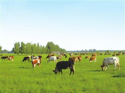 天然放牧提升了赤峰牛羊肉的品质。 毛凤全 摄