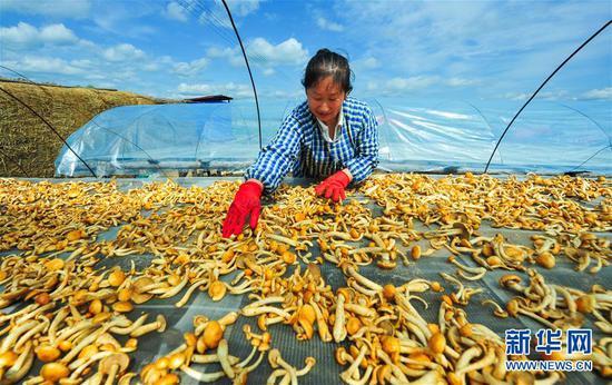 鄂伦春自治旗阿里河镇昆仑山村村民吕小艳在晾晒滑子菇(6月29日摄)。