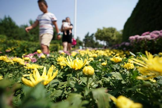 盛开的菊花。