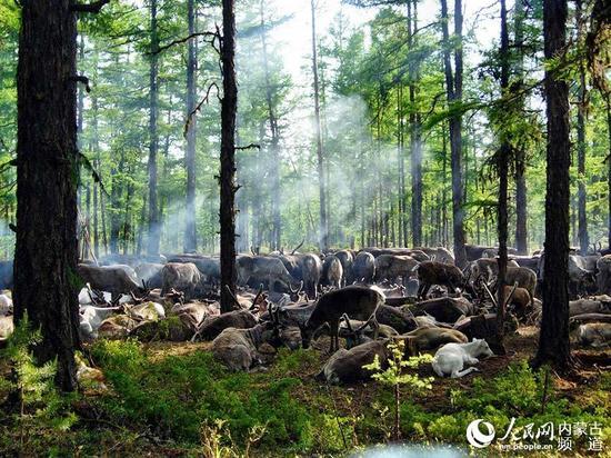森林中悠闲自在的驯鹿群