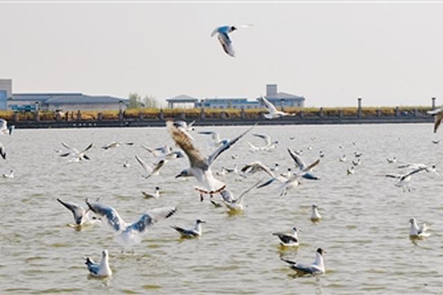 千只鸥鸟乌海湖上秀姿容