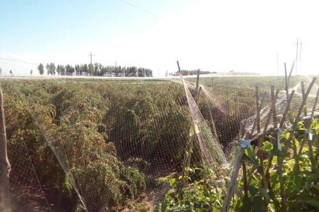 巴彦淖尔市打造仿野生蒙中药材种植基地