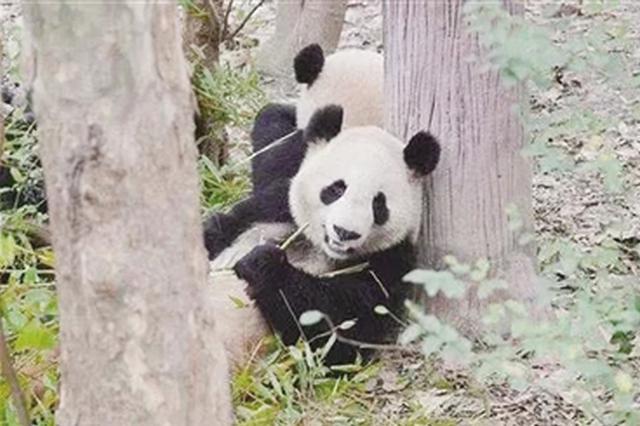 """大熊猫""""仨儿""""和""""茜茜""""将在大青山野生动"""