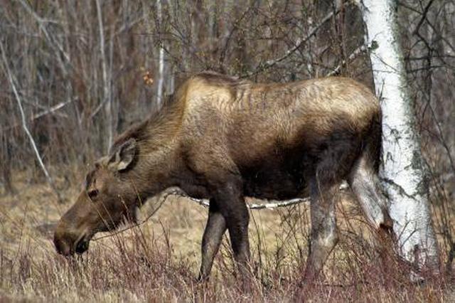 多年未见的国家二级保护动物驼鹿现身维纳河林场