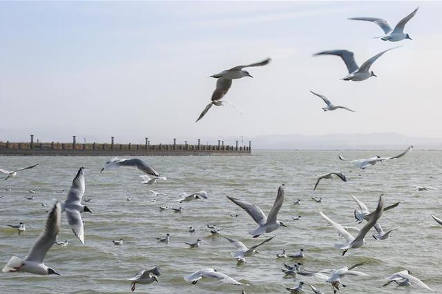 大批红嘴鸥驻足乌海湖