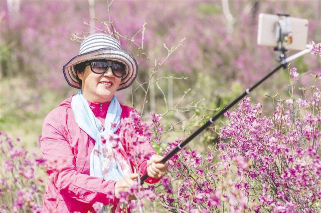 兴安杜鹃开 花季旅游来
