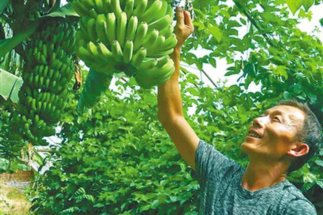 北疆种出了香蕉树——农业科技打破水果栽培地域性
