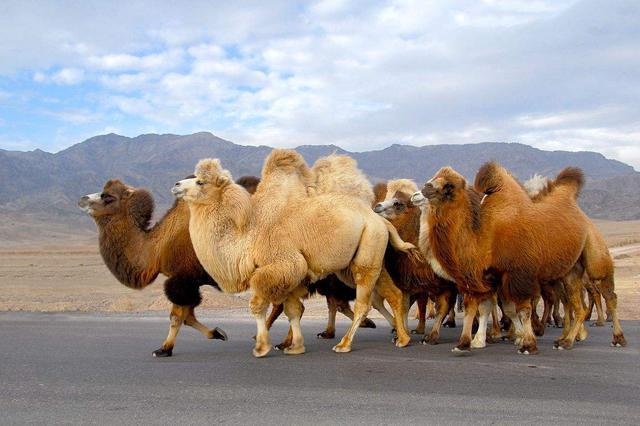 实施骆驼舍饲托养 促驼产业高端化发展