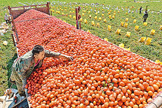 赤峰市宁城县大城子镇: 番茄结出致富果
