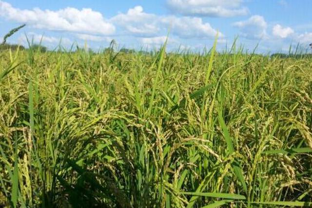兴安盟: 品牌大米带动绿色优质农畜产品提档升级