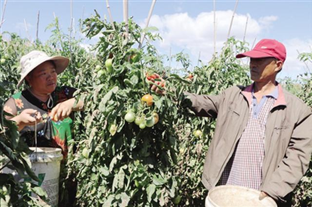 巴彦淖尔杭锦后旗帐房村:西红柿产值达700多万元
