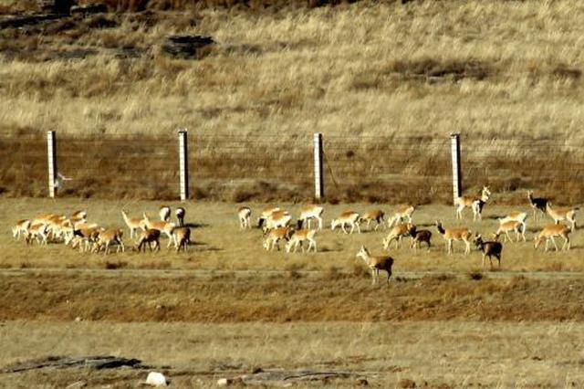 携手保护野生黄羊